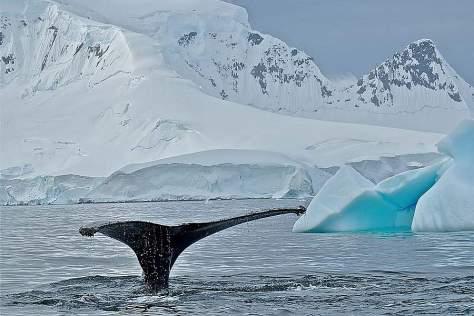 sp_whale_fluke__antarctica_1000x800_7076